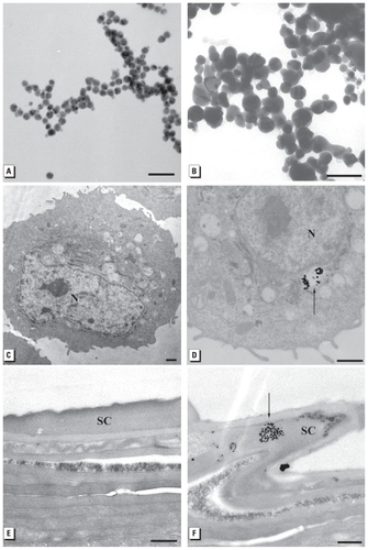 Research environmental health perspectives vol 118 no 3 figure 4 tem images of a 20 nm unwashed ag nps b 25 nm carbon coated ag nps c control heks d 80 nm washed ag nps e control porcine skin fandeluxe Gallery