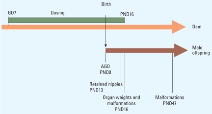 Synergistic Disruption of External Male Sex Organ